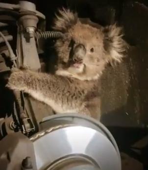 Koala South Australia