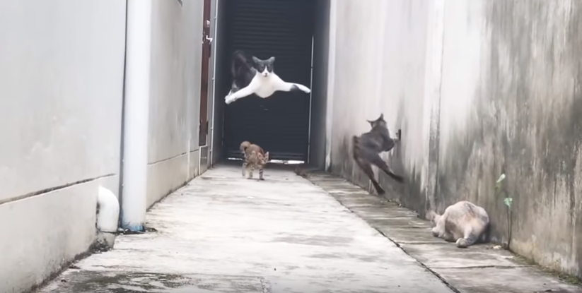 One Cat Deftly Dodges Three Other Cats