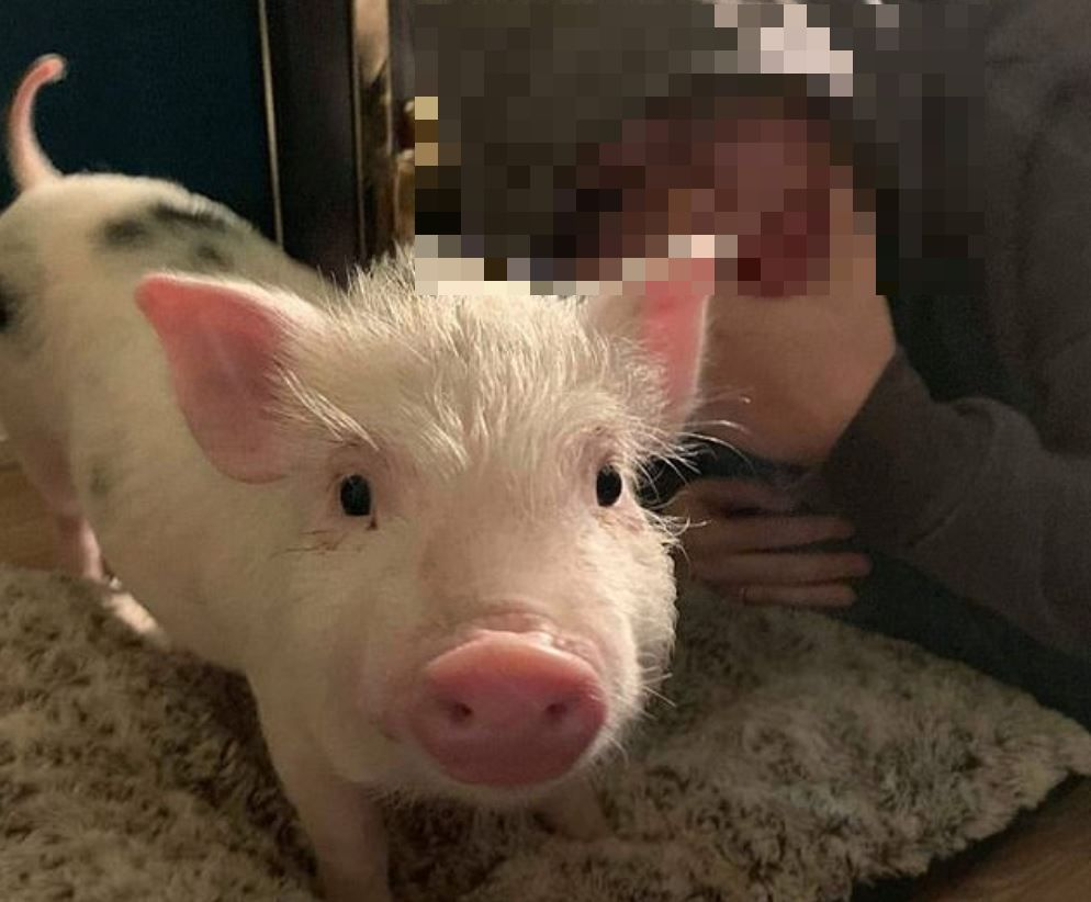 The family fear that 15-week-old Arlo will be sent to the slaughterhouse. Credit: Georgie Williams/Teddi Williams