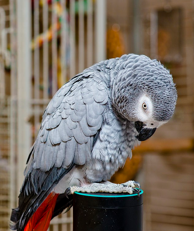 Naughty Parrot Uses Amazon Alexa To Shop While Owner Is Away