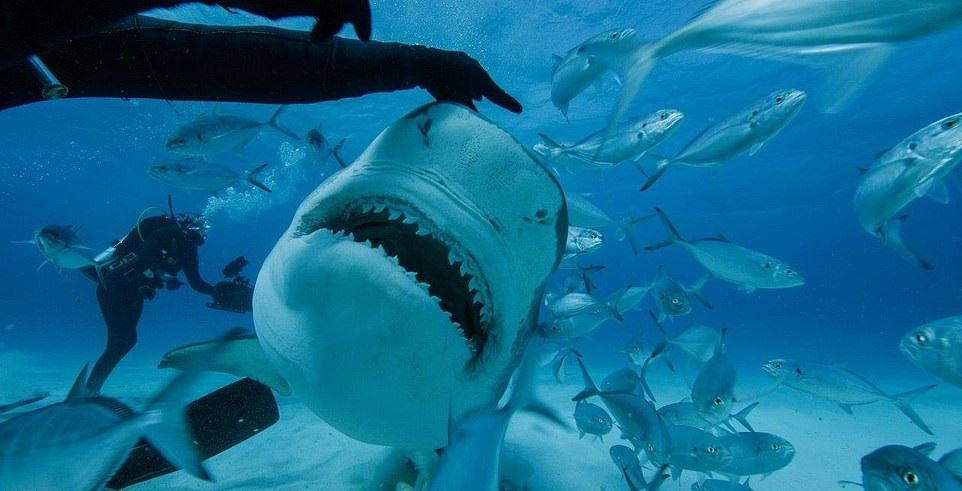 Look at those teeth. Credit: National Geographic/Man vs Shark