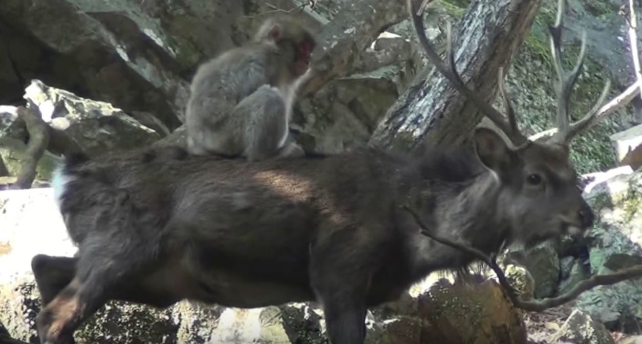 Japanese snow monkeys are studying to have intercourse with deer