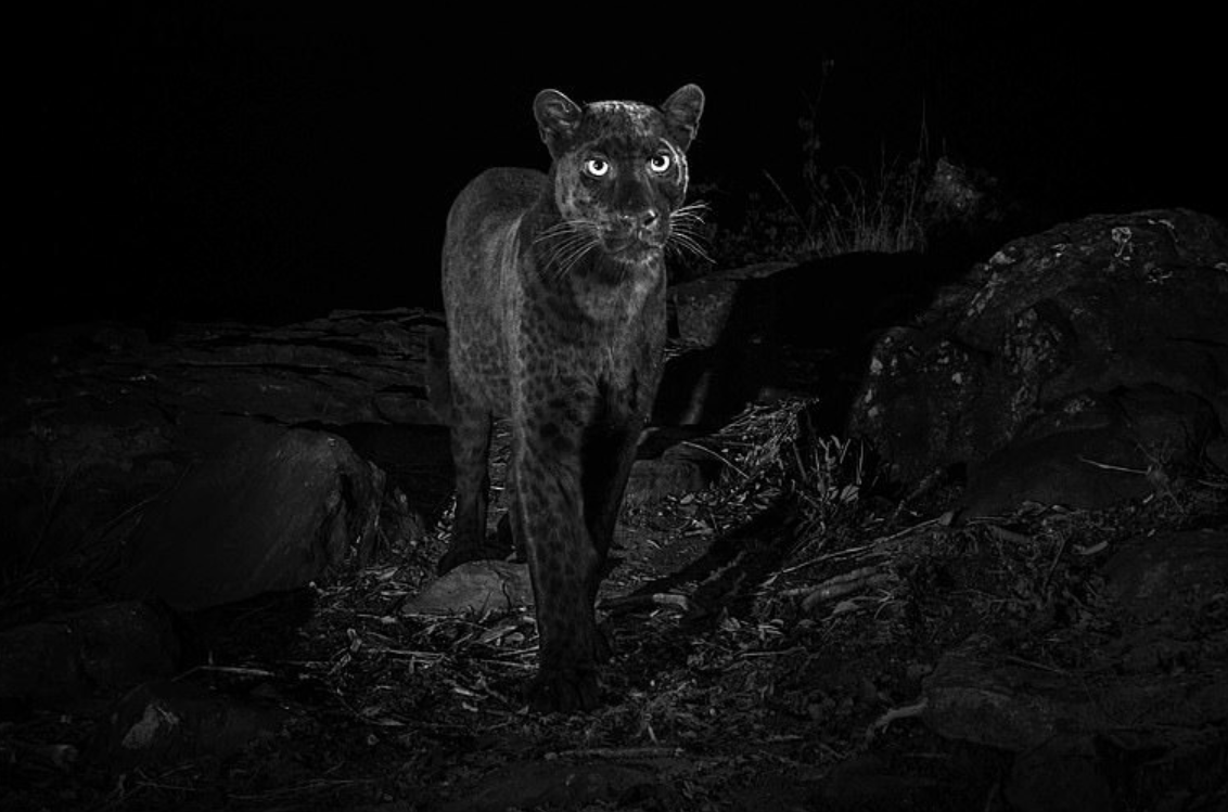The black leopard is one majestic looking cat. Credit: Will Burrard-Lucas