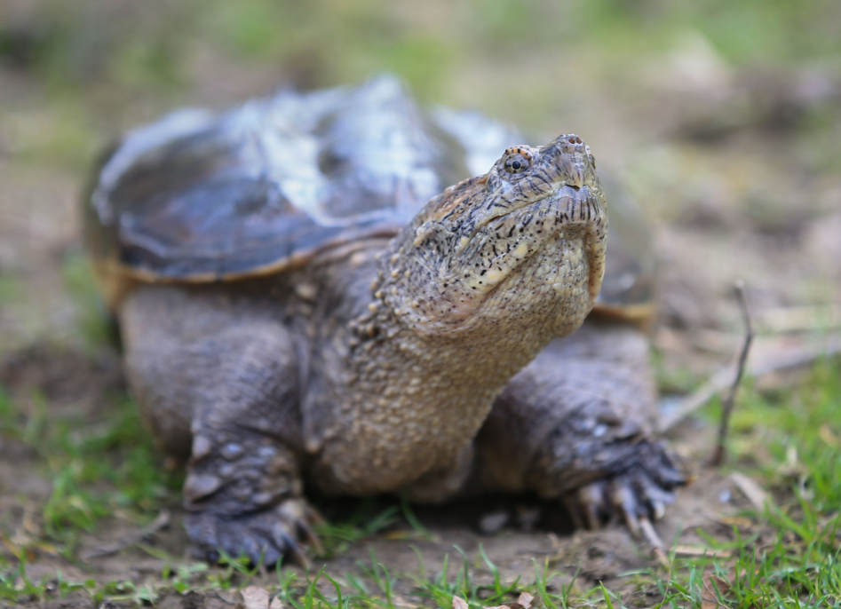 The snapping turtle was reportedly euthanized. Credit: PA
