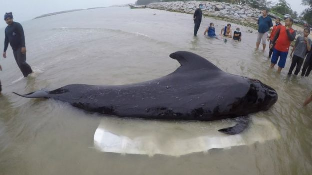 People tried to get the whale to the shore to get the plastic out but it didn't work. Credit: Getty