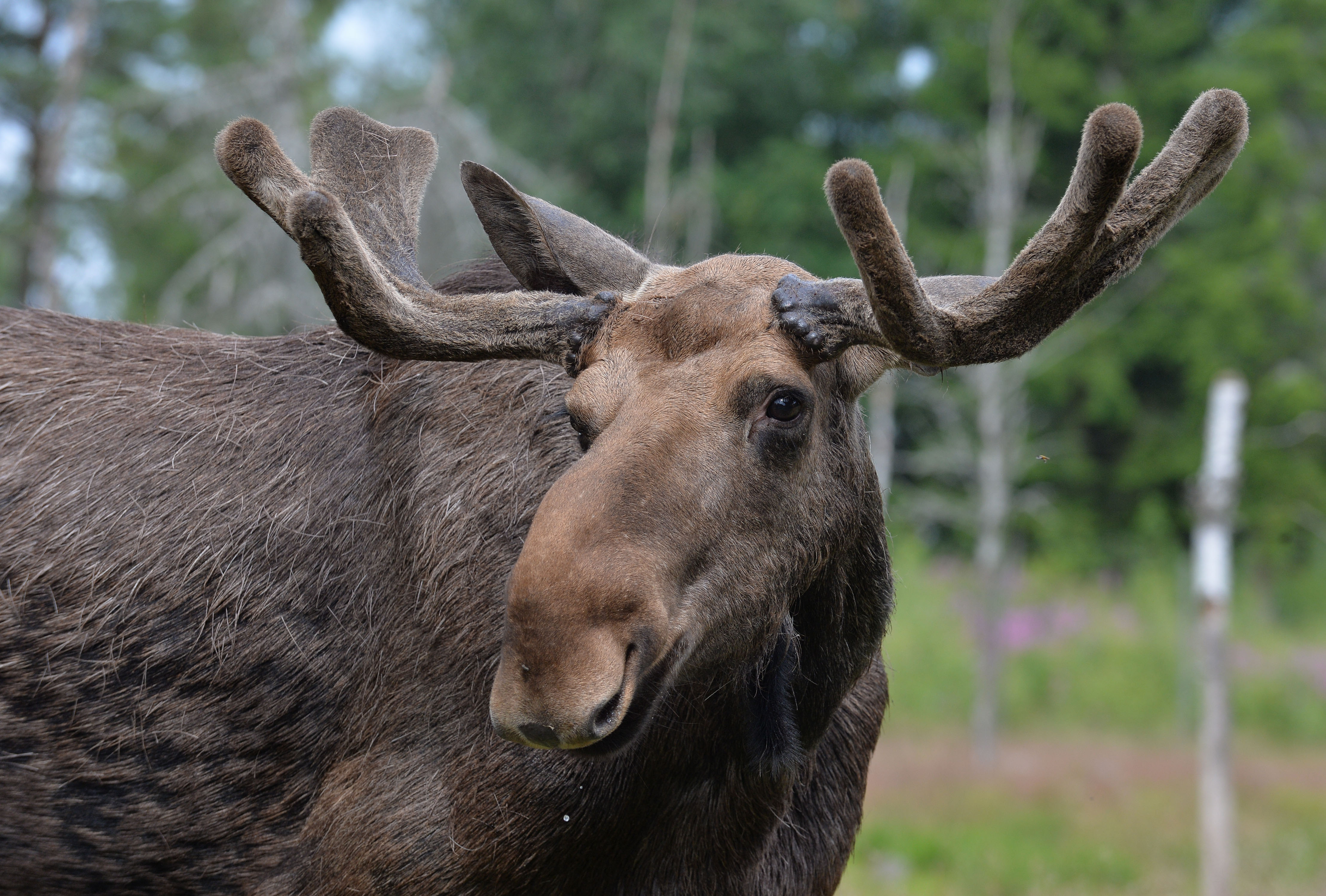 The dad thought he had shot a moose but after approaching the carcass discovered it was his young son. Credit: PA