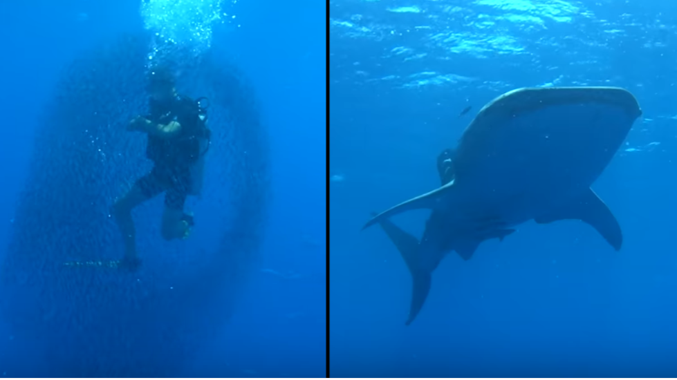 Fish Surround Diver In Bait Ball For Protection From Huge Shark
