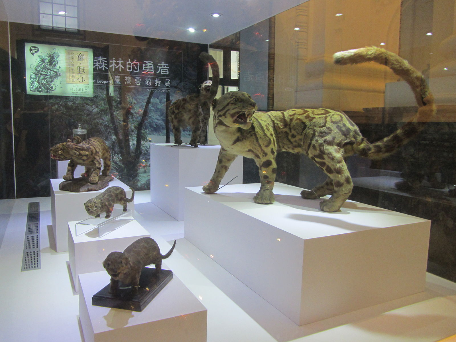 Specimen of the animal in the National Taiwan Museum. Credit: SSR2000/Creative Commons