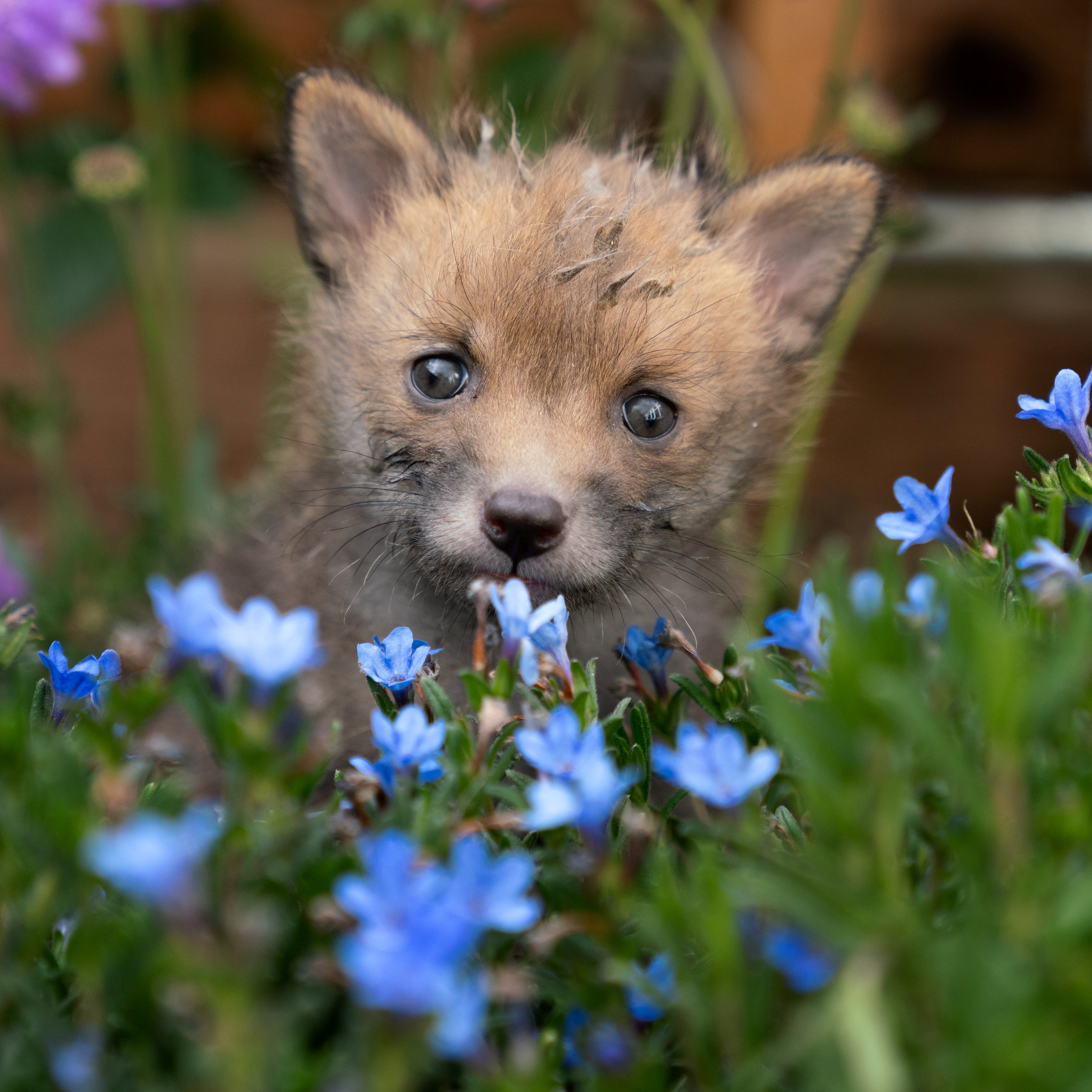 The foxes initially had to be fed milk every 20 minutes. Credit: SWNS