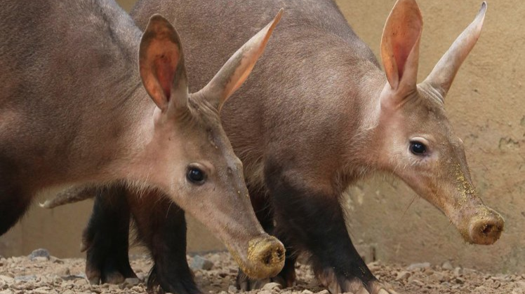 A Nine-Year-Old Aardvark Has Died In The London Zoo Fire