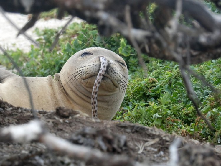 Why have seals been getting eels stuck up their noses?