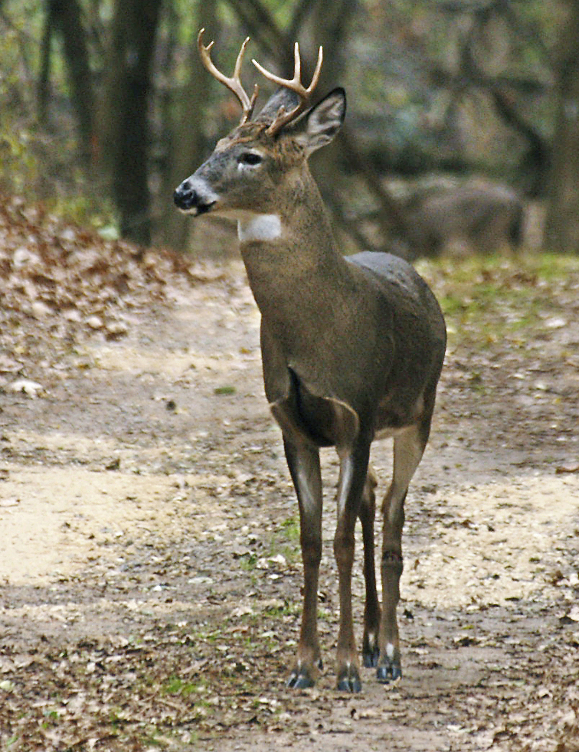A Dangerous Deer Disease could spread to Humans