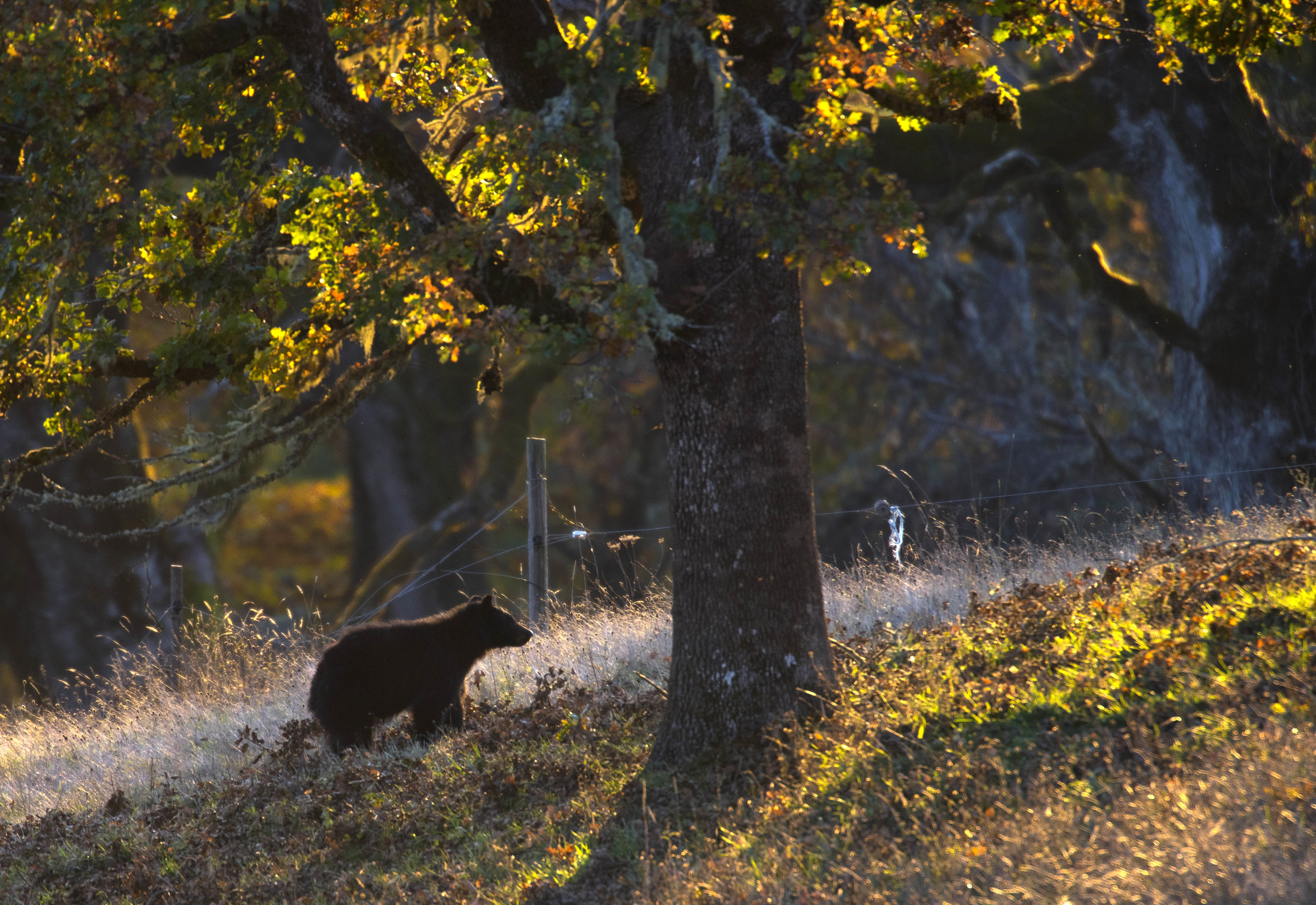 Black bears are pretty common in the area, but usually avoid humans. Credit: PA