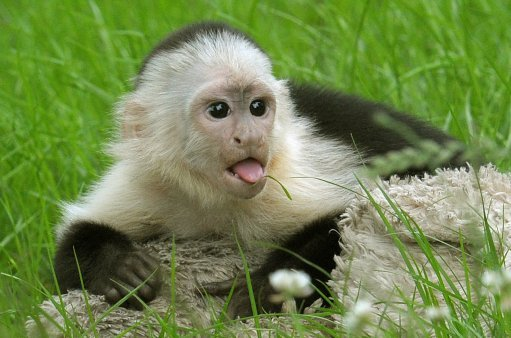 White headed capuchin Mally sits on the grass in the new monkey open-air enclosure at Serengeti. Credit: PA