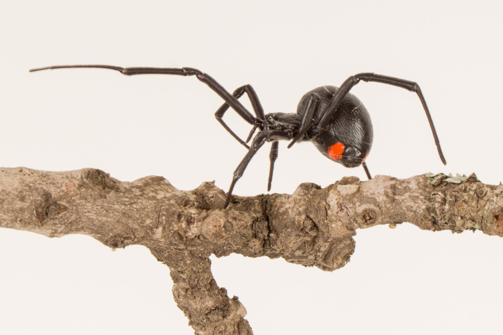 Females of the he Phinda Button spider have distinctive red markings. Credit: Pen News