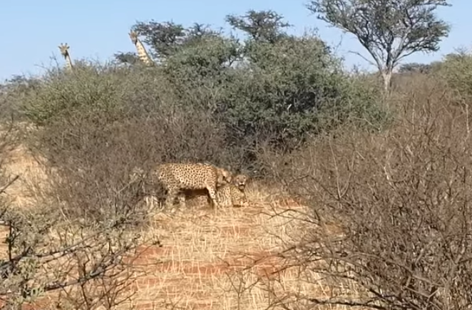 The rare sighting was caught by tourists in a game reserve, in South Africa. Credit: YouTube / Kruger Sightings