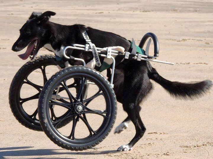 Roo is able to get around much more quickly with her new wheels. Credit: SWNS