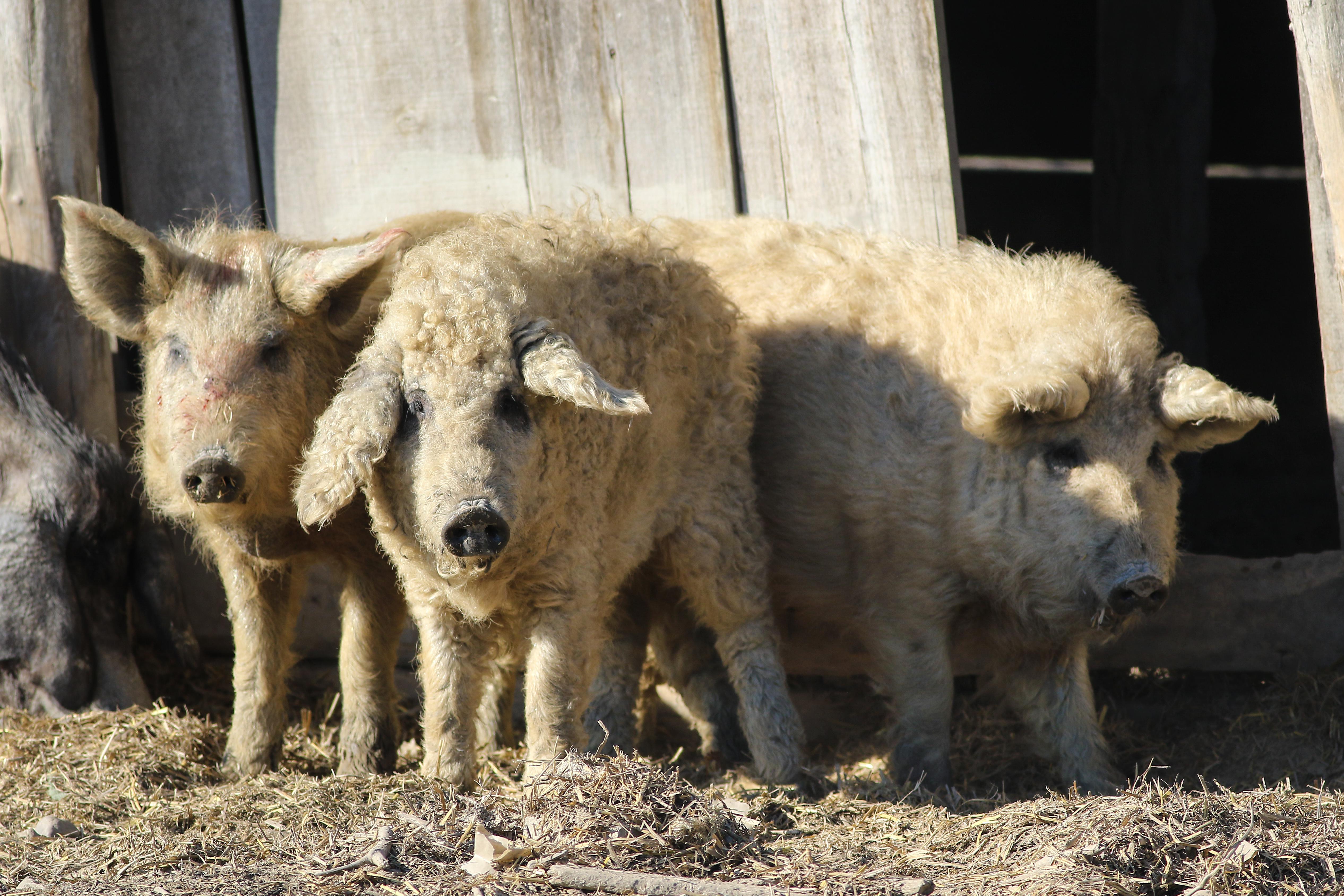 Furry Pigs Look Like Sheep And Act Like Dogs   Tyla
