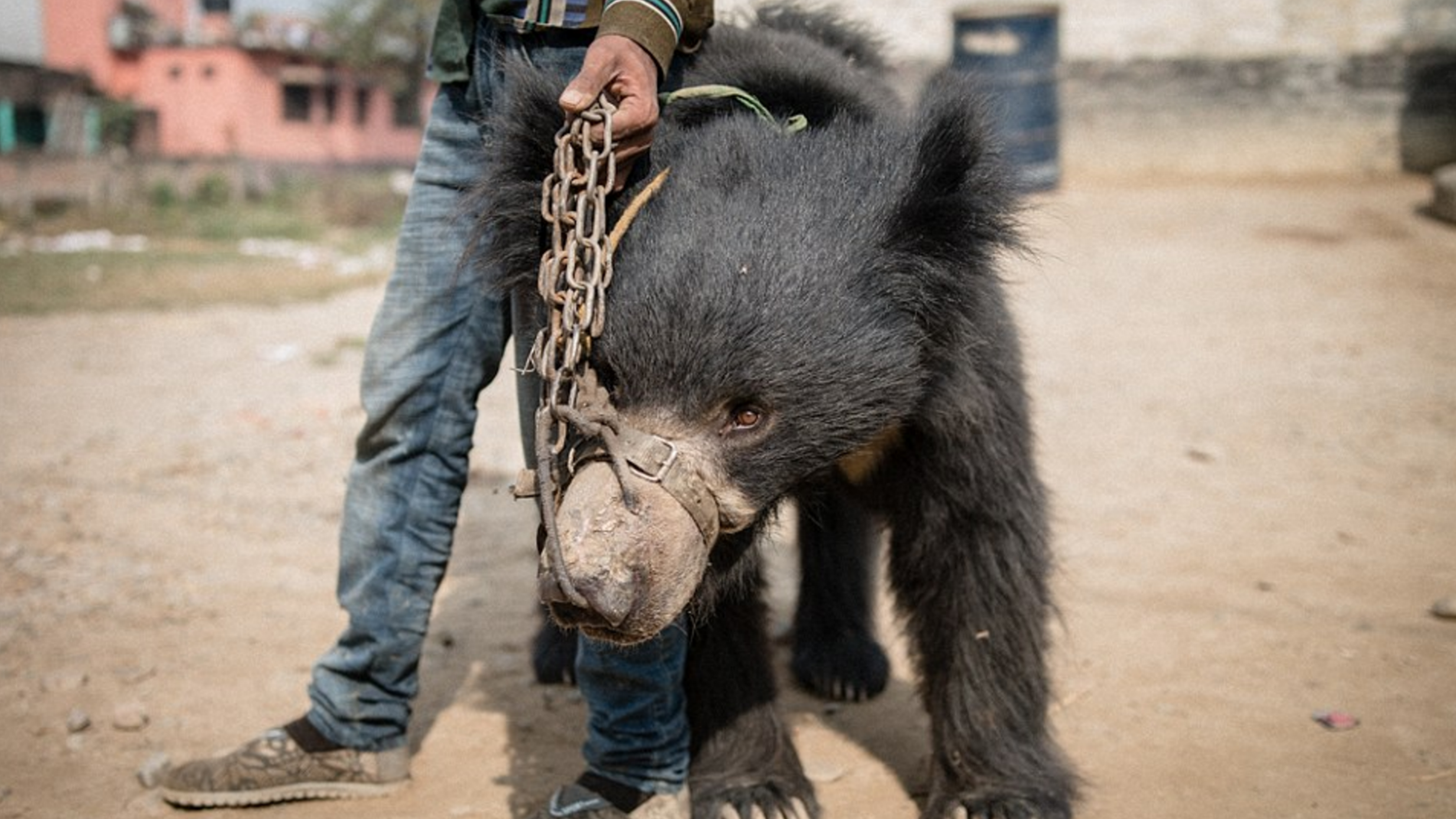 Nepal's Last Two Dancing Bears Freed In Overnight Raid