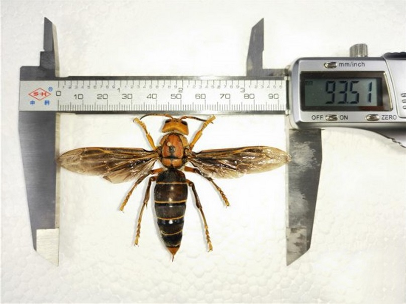 The Godzilla hornet is believed to be the largest wasp in the world. Credit: Asia Wire