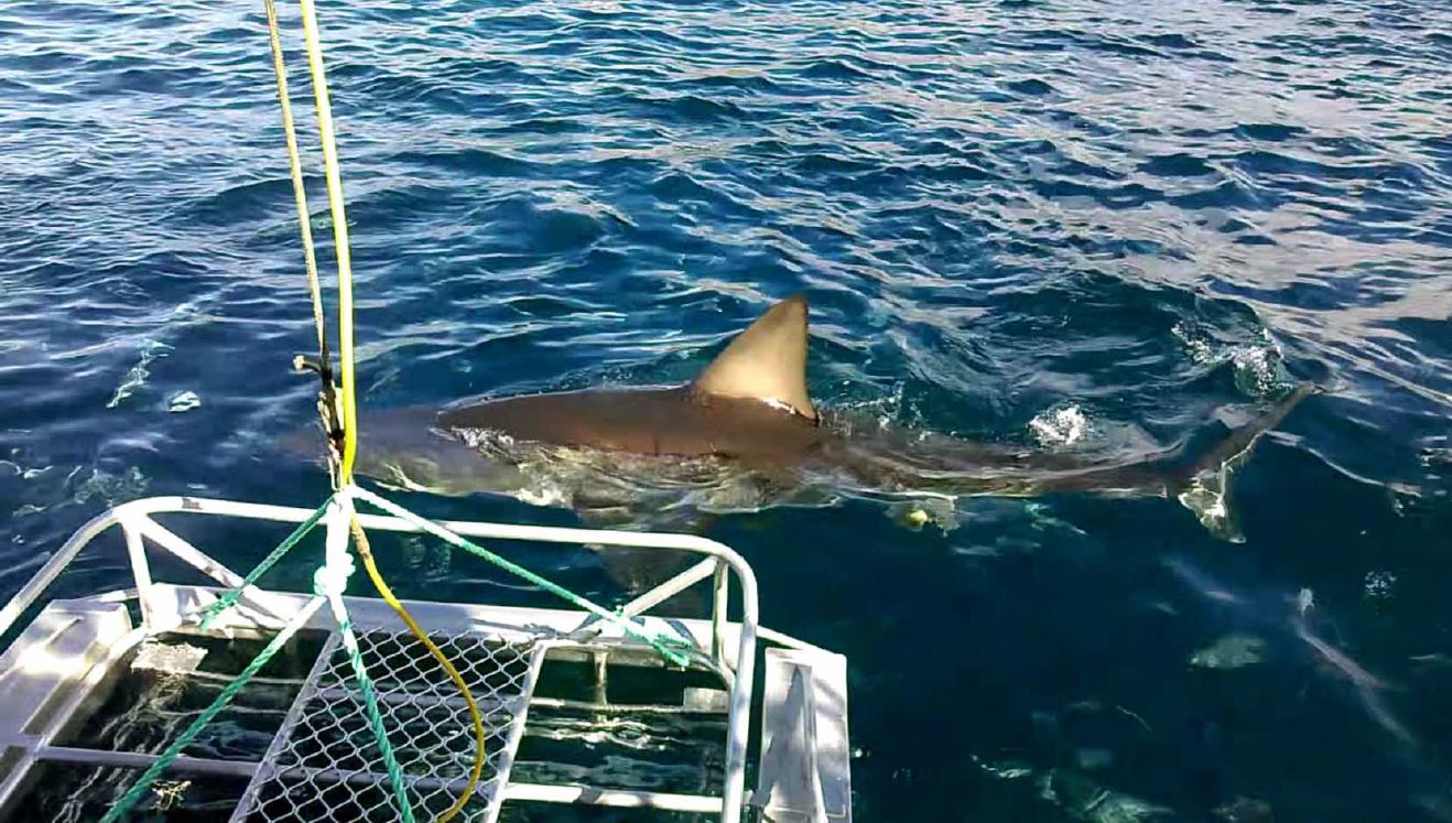 Great White Shark swimming near a boat in Australia