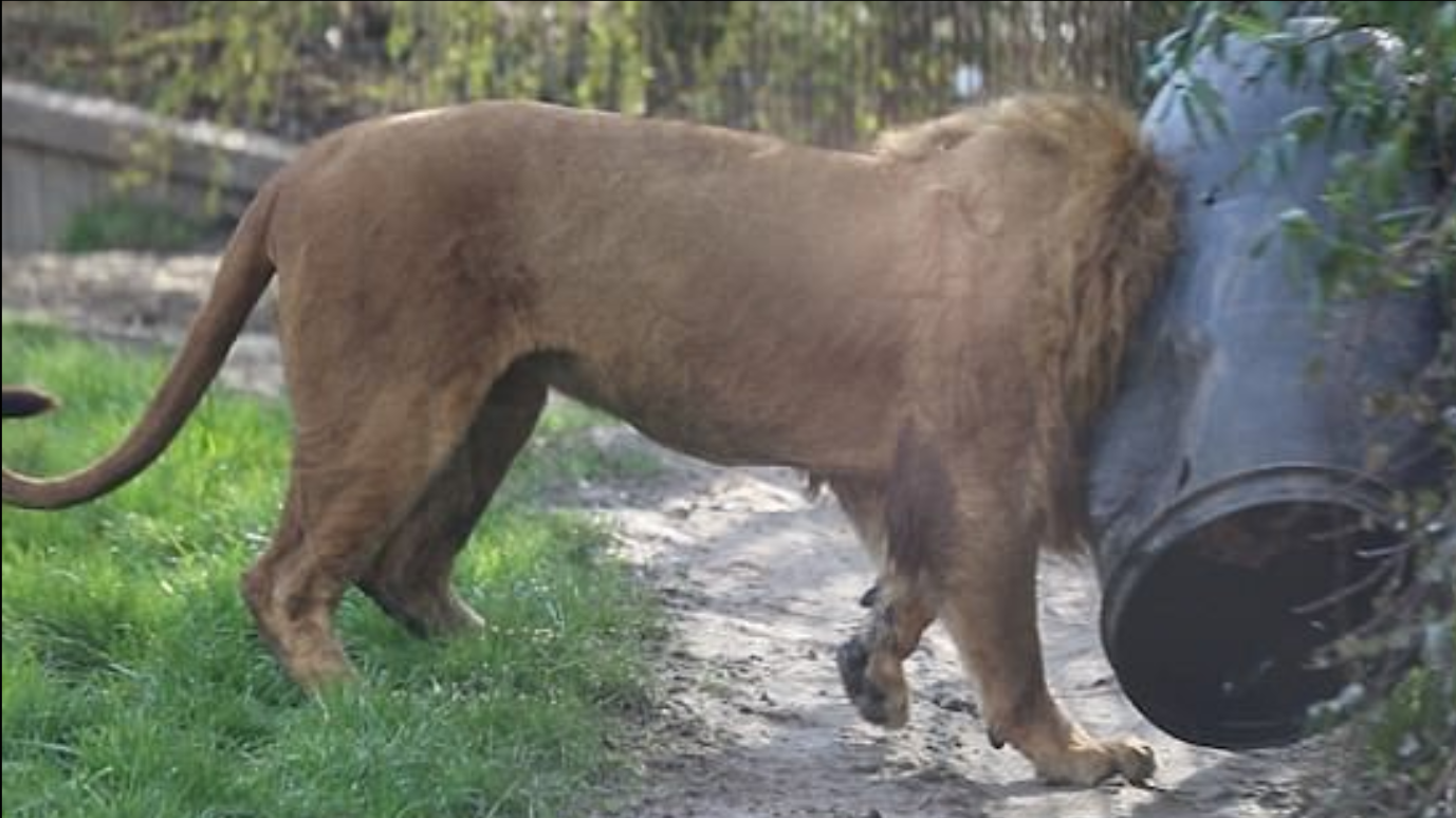 Unlucky Lion Thrashes About After Getting Stuck In Food Barrel