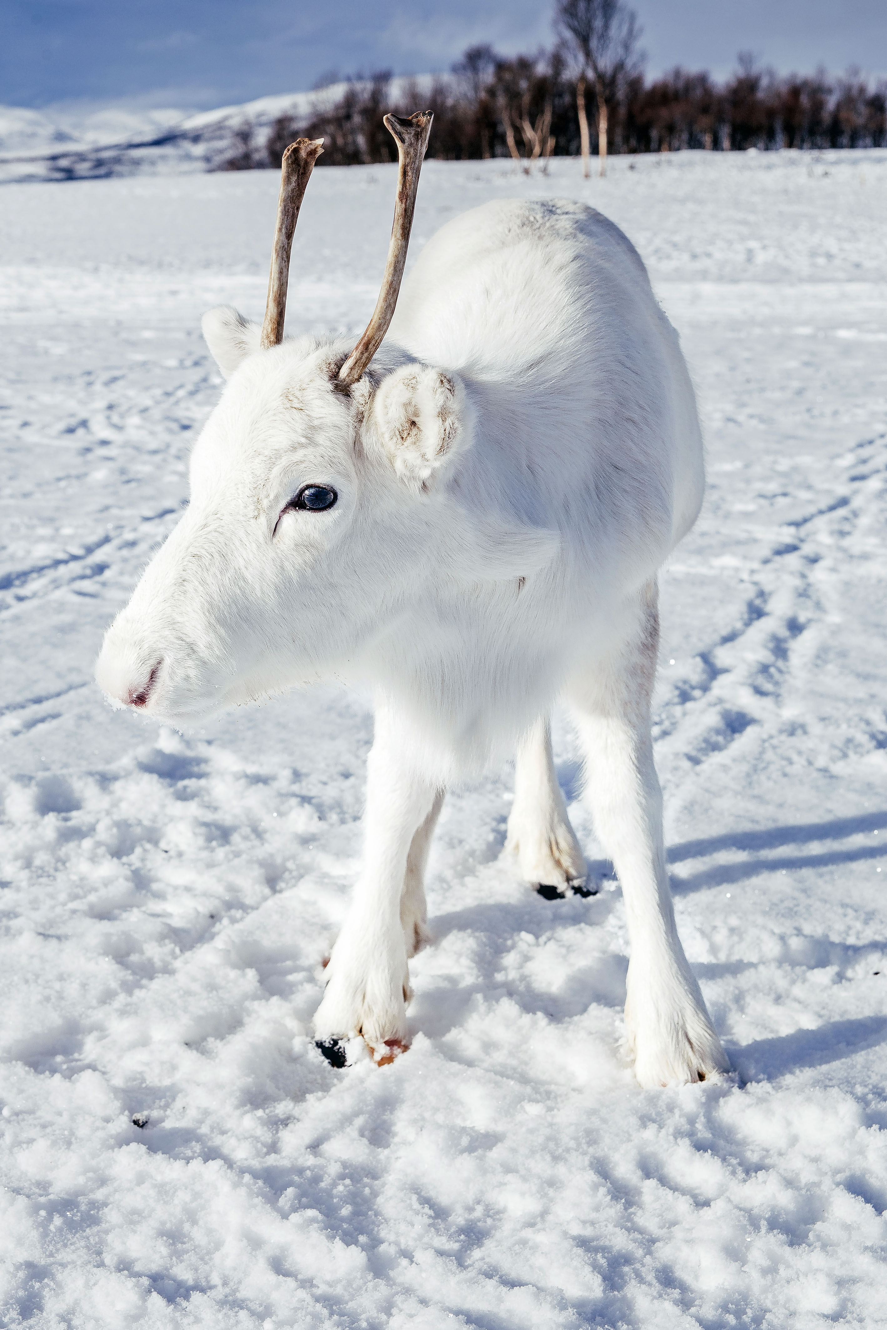 The reindeer has a rare genetic mutation meaning its fur is pure white. Credit: Caters/Mads Nordsveen