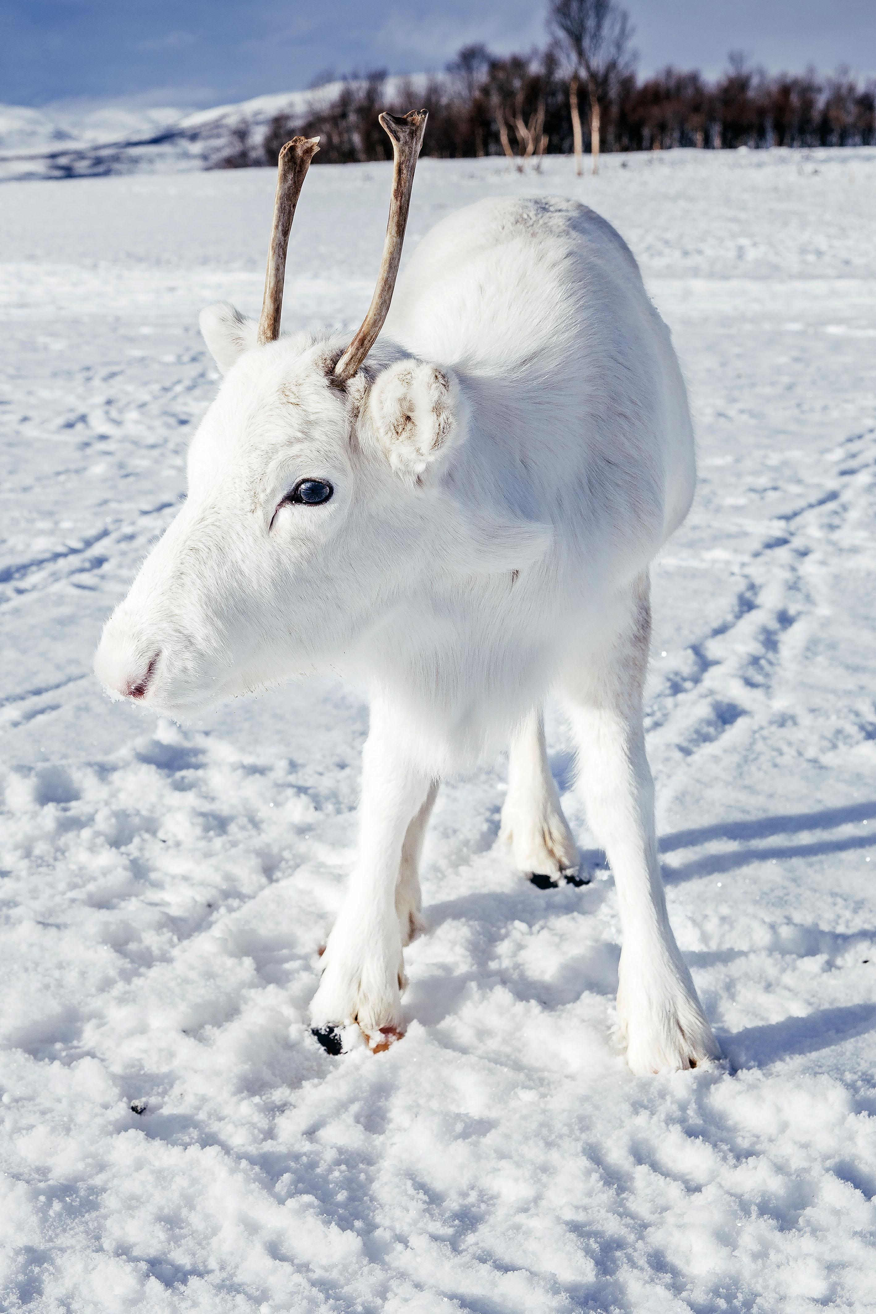 驯鹿具有一种罕见的基因突变意义它的皮毛是纯白色的。信贷:满足/马德斯Nordsveen