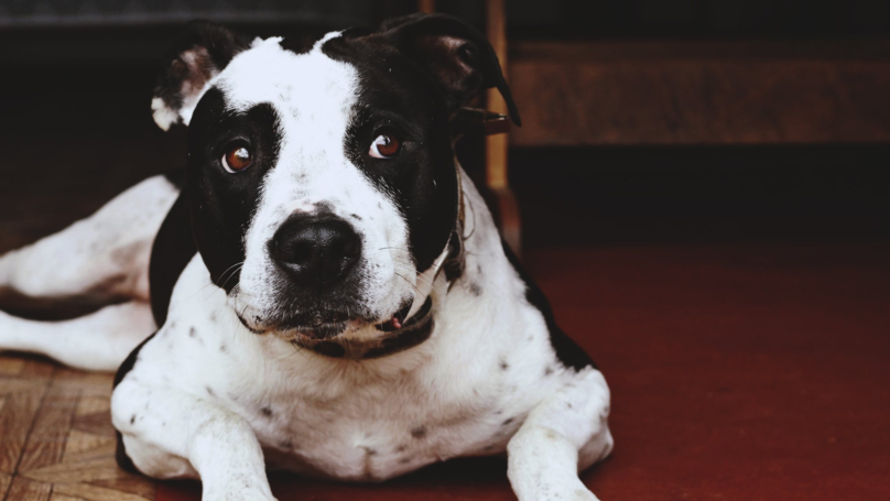 Staffordshire Bull Terrier Saves Girl From Falling Off A Cliff