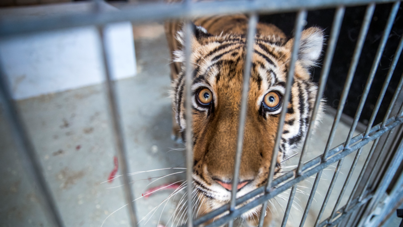 Wales Set To Ban Use Of Wild Animals In Travelling Circuses