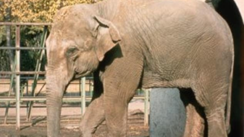 'World's Saddest Elephant' Dies After Decades Alone In Her Enclosure