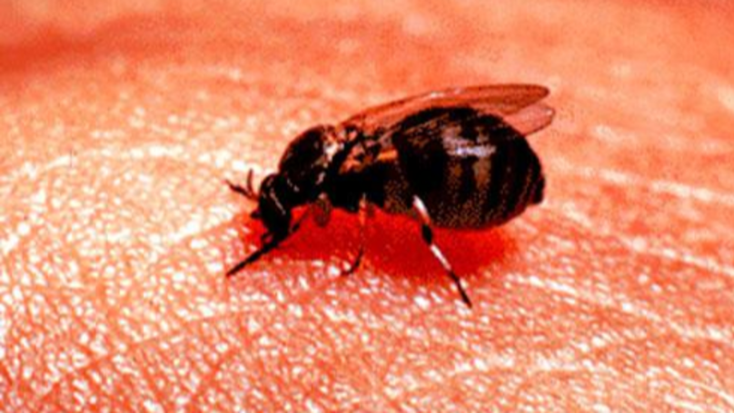 Warning Over Bloodsucking Blandford Flies