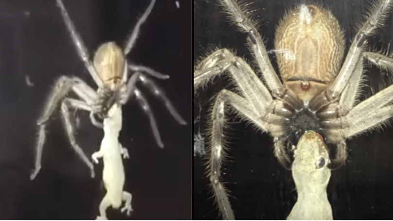 Huge Huntsman Spider Eats Lizard Next To Family Eating A Meal