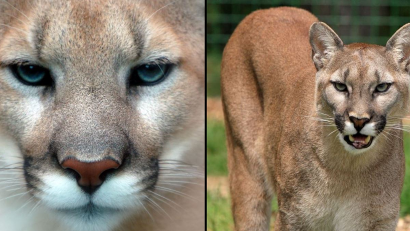 The Eastern Cougar Has Been Officially Declared As Extinct