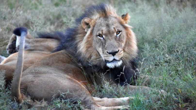 Big Game Hunter Gets Shot Dead While In Africa Hunting Lions