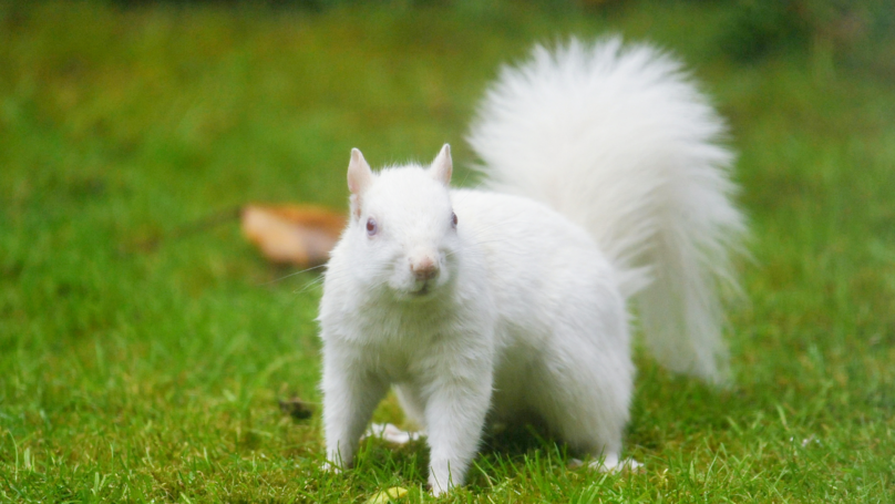 Stunning Pictures Of Rare Albino Squirrel Scavenging For Food In Family's Garden