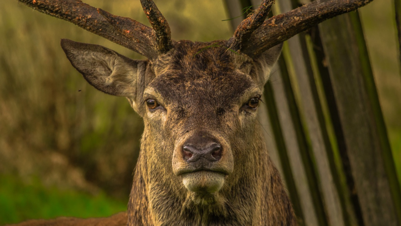Experts Warn Deadly Zombie Deer Disease Could Spread To Humans Next