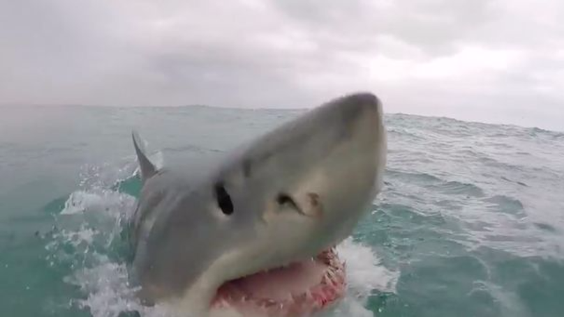 Horrifying Footage Shows A Great White Shark Coming Dangerously Close To A Camera Man