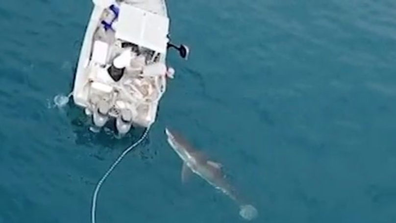 Massive great white shark tries to take on fishing boat for Great white shark fishing