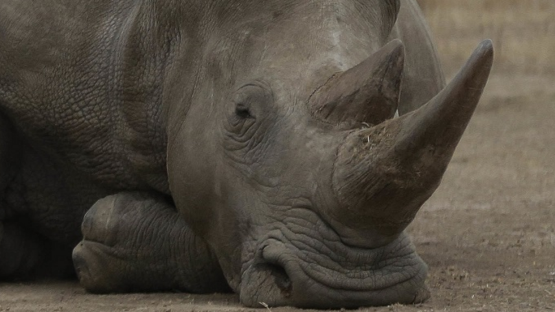 The Last Male Northern White Rhino In The World Is Dying