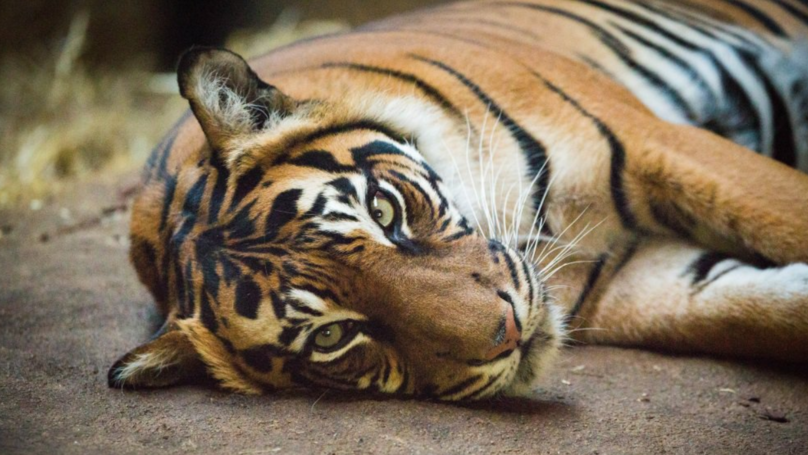 Tiger Killed By Her Potential Mate On Their First Meeting