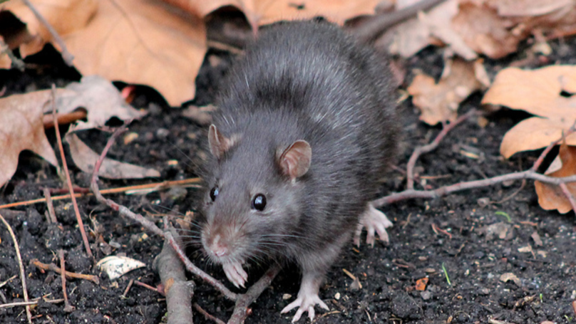 Get Ready For The 'Colossal' Plague Of Rats This Summer