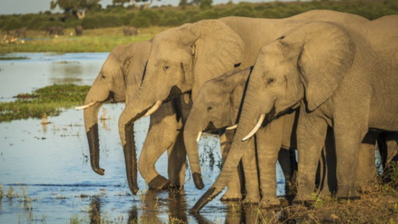 Botswana Lifts Ban On Elephant Hunting To 'Manage Population'