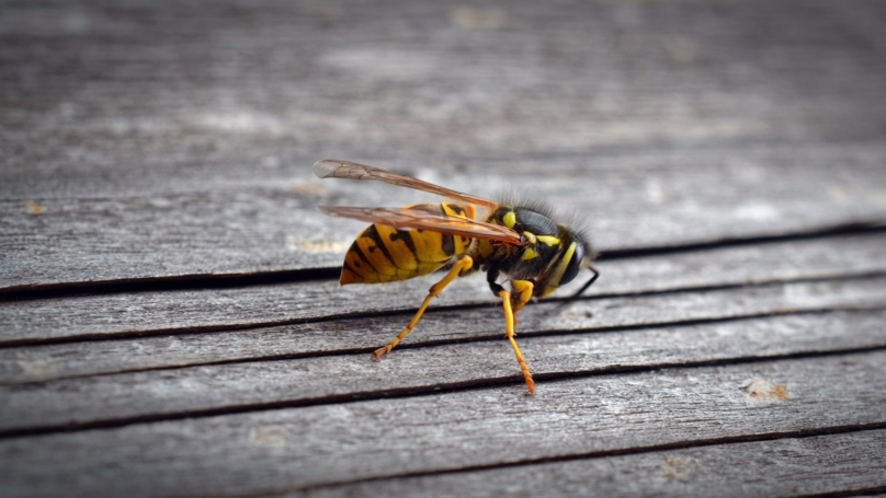 Pest Controller Finds Massive Nests Containing 'Thousands of Wasps' Inside Attic
