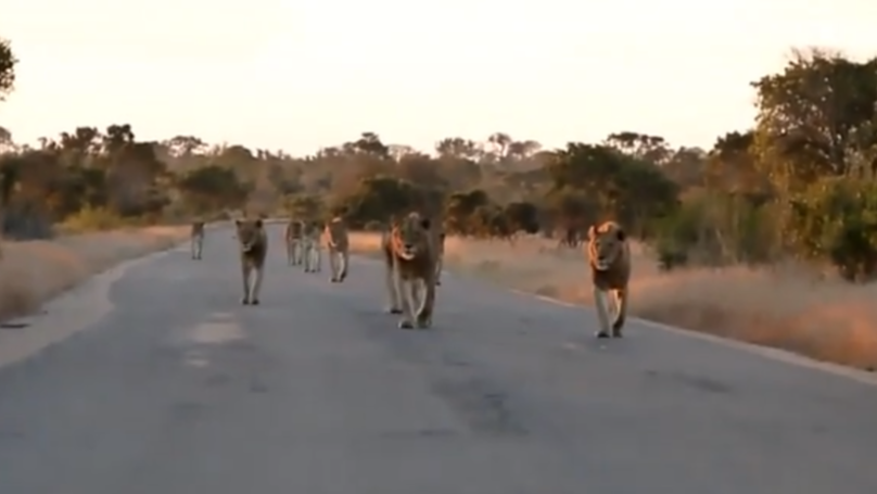 Tourist Videos Incredible Encounter With Pride Of Lionesses In South Africa