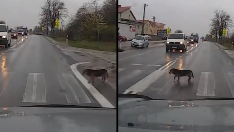 Clever Dog Waits For Cars To Stop To Use Zebra Crossing