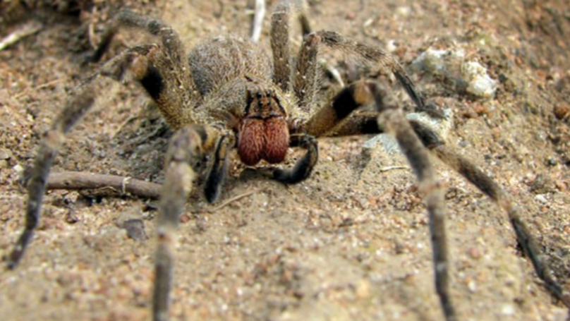 Scientists Think Deadly Spider Venom Could Be Used To Treat Erectile Dysfunction