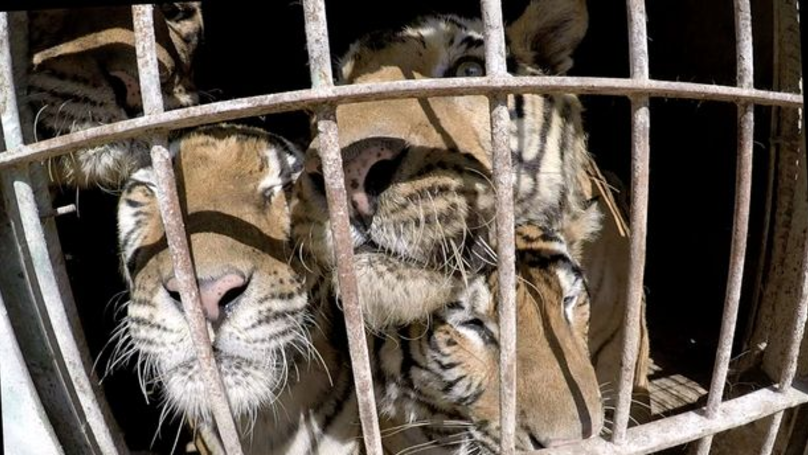Chris Packham Wants To Bring Five Rescued Circus Tigers To The UK