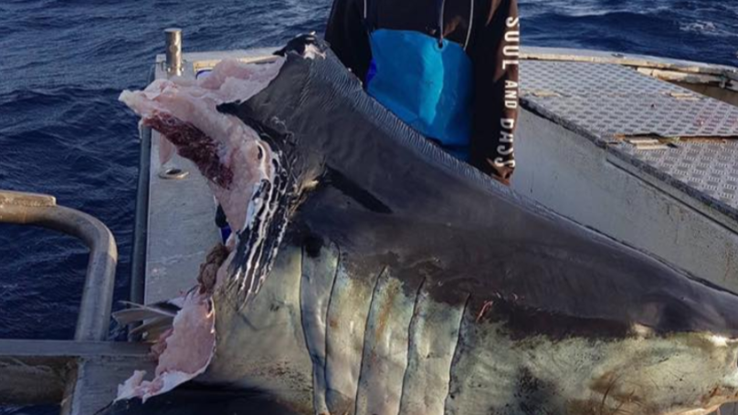 Fisherman Who Found Huge Shark With Missing Head Makes Weird Discovery Inside