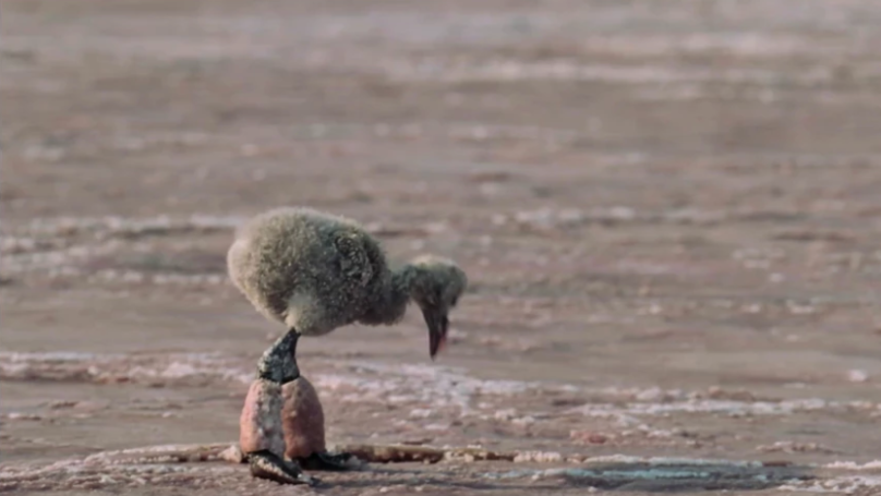 The Baby Flamingo Scene From Our Planet Is The Next Walrus Moment You'll Want To Skip